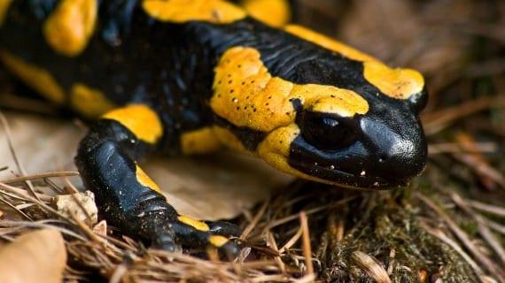 Ubuntu Saucy Salamander